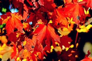 Maples are known for their gorgeous fall foliage