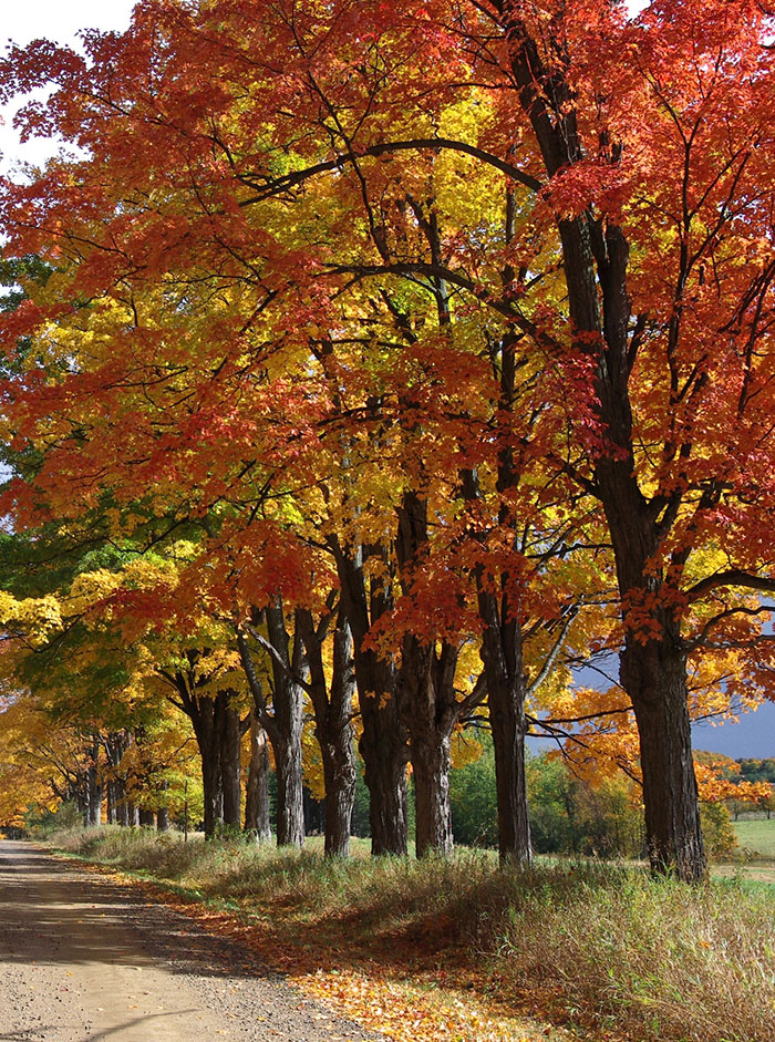Healthy sugar maples planted along a lane way in the Hockley Highlands more than 50 years ago.