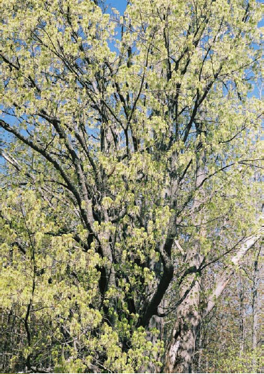 Early May – trees are covered in yellow flowers, potentially a bumper seed year.
