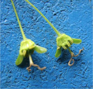 - sugar maple female flowers with seed starting to form– note samara tips emerging