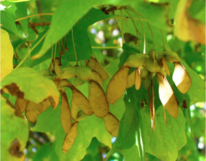 Mature sugar maple samaras, early October, 2006, Guelph - note yellow-brown wings Photo credit – Sean Fox