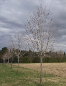 Young sugar maple trees