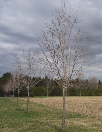 Pruning Young Sugar Maple Trees Maple Leaves Forever