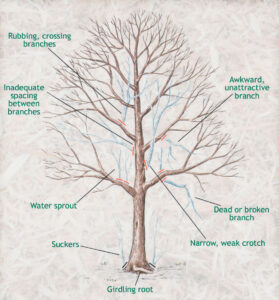 When to Prune Trees  - Credit: www.thegardenglove.com