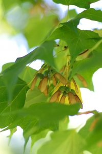Mature sugar maple seed October 5, 2015