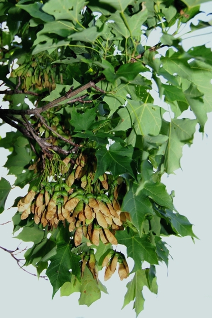 Sugar maple branch with mature seed