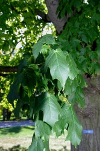 Leaf characteristics black maple October 5, 2015