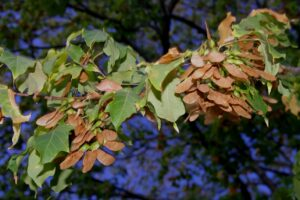 Mature black maple seed October 5, 2015