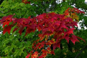 Red maple flagging
