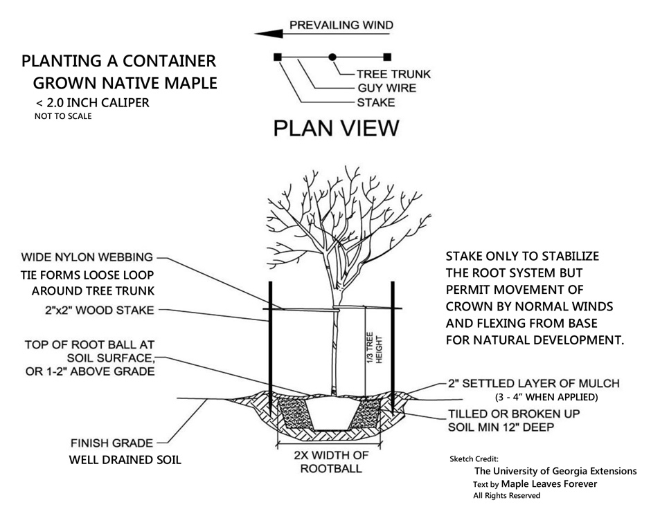 Planting a container-grown native maple