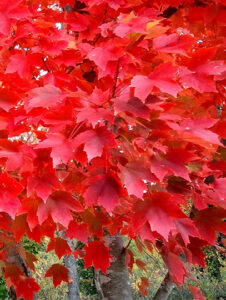 Native Red Maple - fall foliage