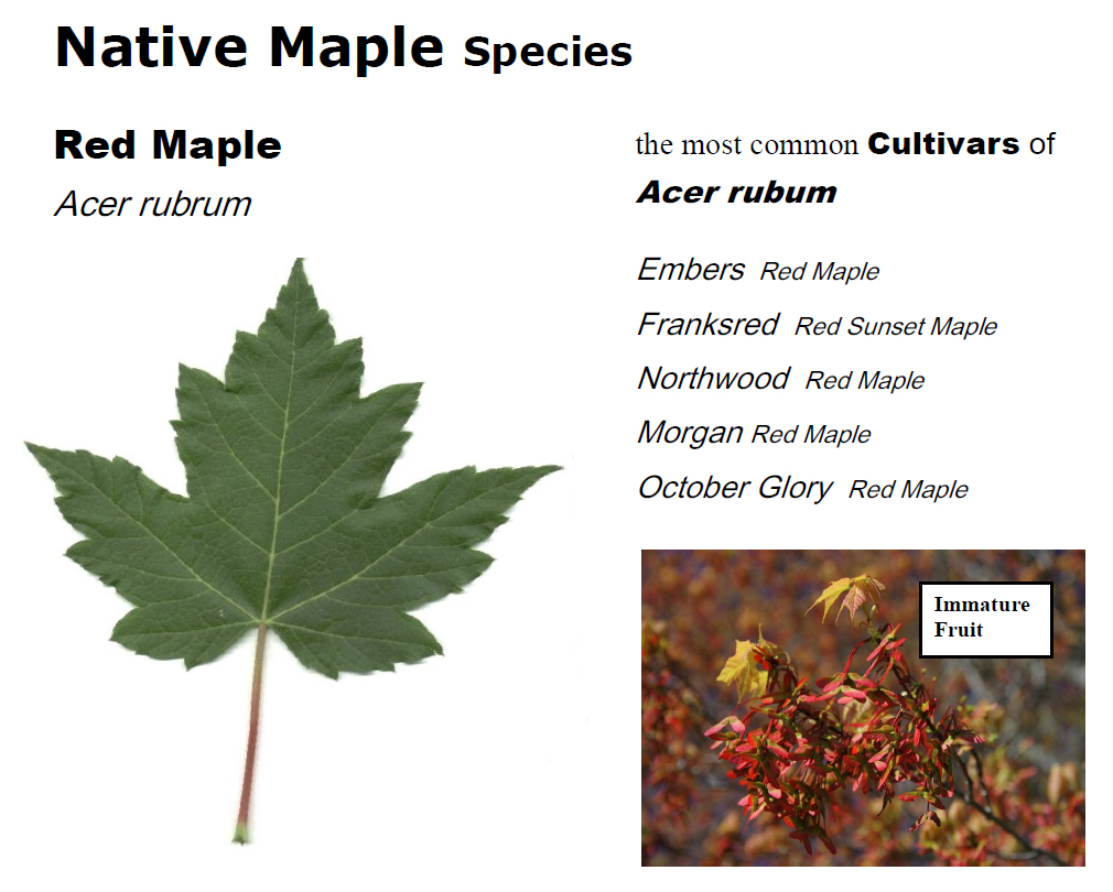 Shades Of Red What Is A Red Maple Tree Maple Leaves Forever