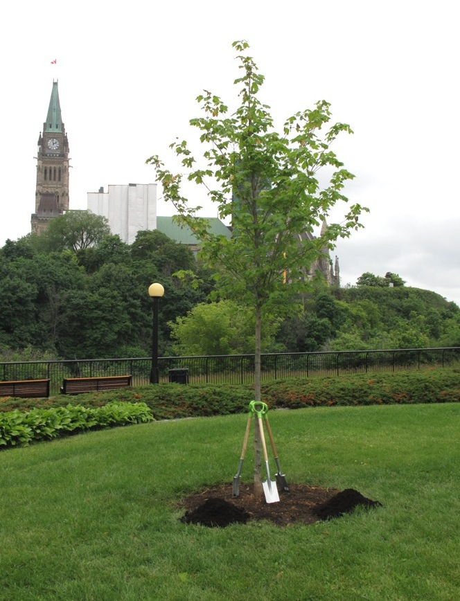 Commemorative maple tree after planting in 2015