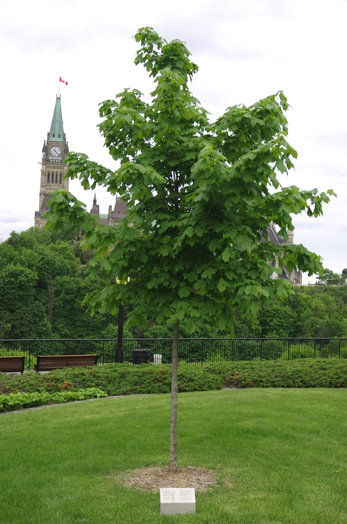Commemorative maple tree now - 2 years later!