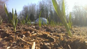 Early garlic sprouts with dome structure in background
