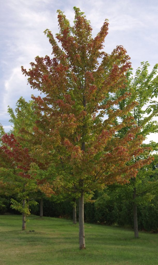 A less severely damaged maple showing random leaf colour change.