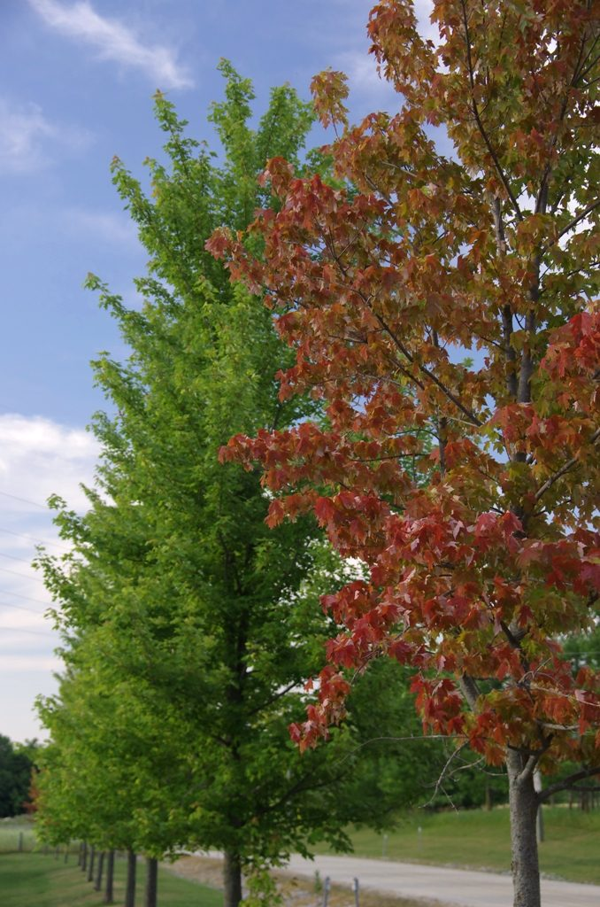 Some maples exhibiting premature leaf colour change. Note the other healthy (green) maples.