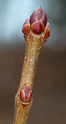Norway Maple twig