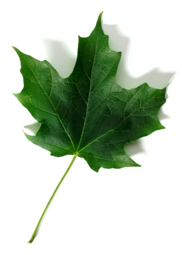 Sugar Maple – Summer Leaf